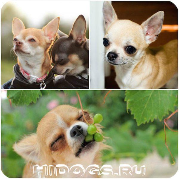 Чихуахуа: фото и характер собаки, все об уходе и содержании
