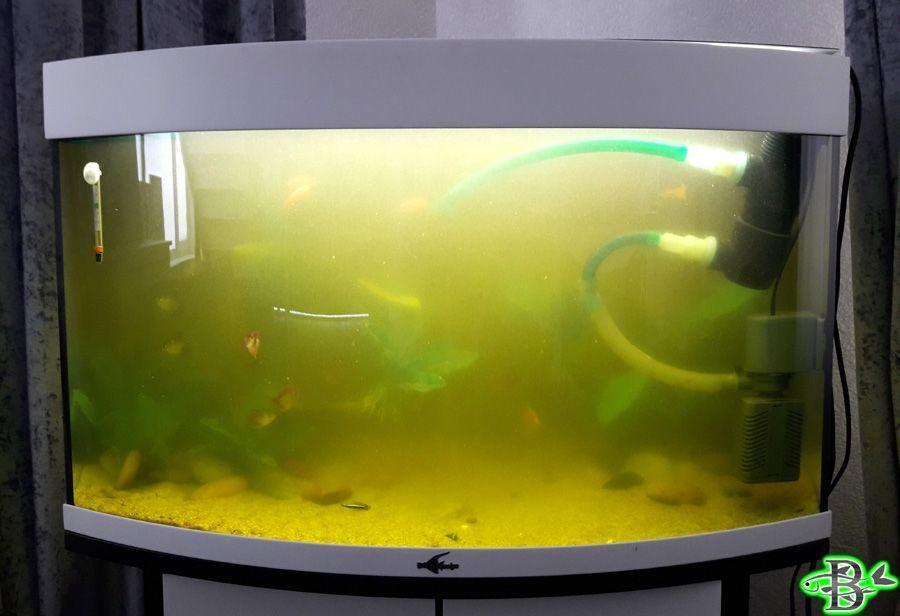 Почему цветет вода в аквариуме, что делать и как с этим бороться: таблетки и другие средства, чтобы избавиться от цветения
