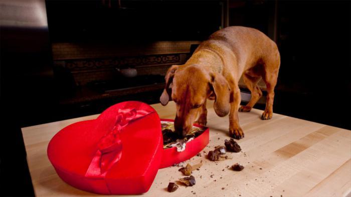 Почему собакам нельзя шоколад: что делать если съела