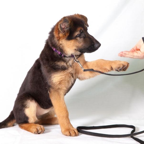 Как правильно и с какого возраста можно дрессировать щенка собаки в домашних условиях? обучение щенка собаки основным командам: начальный курс дрессировки, список команд, описание жестов, видео, советы. какое лакомство давать щенку собаки при дрессировке?