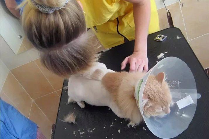 Как подстричь персидскую кошку дома. видео стрижки кошки. хозяйка кошки помогает держать любимицу. кошка абсолютно спокойна.