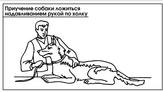 Как научить собаку командам — «голос», «сидеть», «лежать»