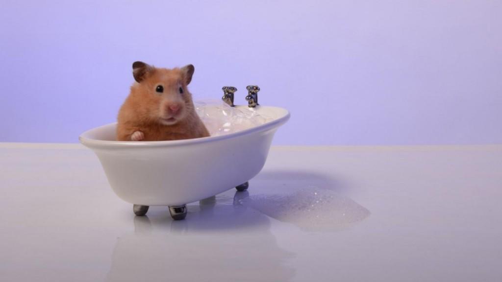 Можно ли купать и мыть хомяков в воде?
