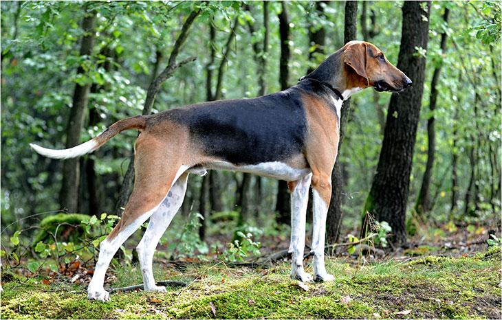 Описание породы собак русская пегая гончая с отзывами и фото