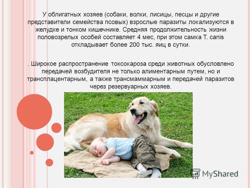 Шарпей — описание породы собаки от а до я