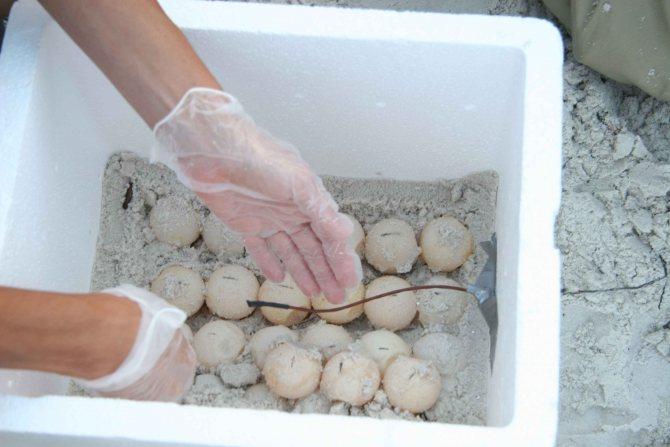 Черепаха рожает домашних условиях