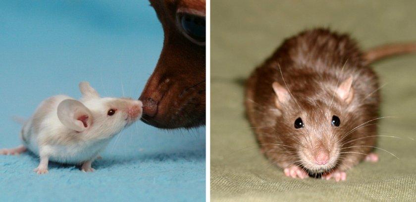 Мыши (домашняя, белая): описание видов и фото | zoodom