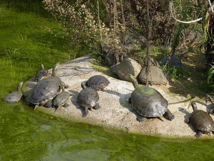 Сухопутная черепаха: ареал обитания, виды, внешний вид, размеры, что едят, сколько живут, размножение