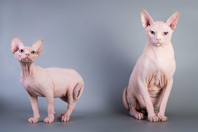 Меню для сфинкса: как правильно составить рацион для голых пород кошек