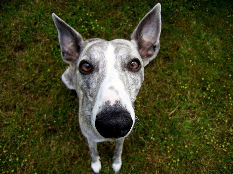 Топ-9 самых непослушных пород собак
