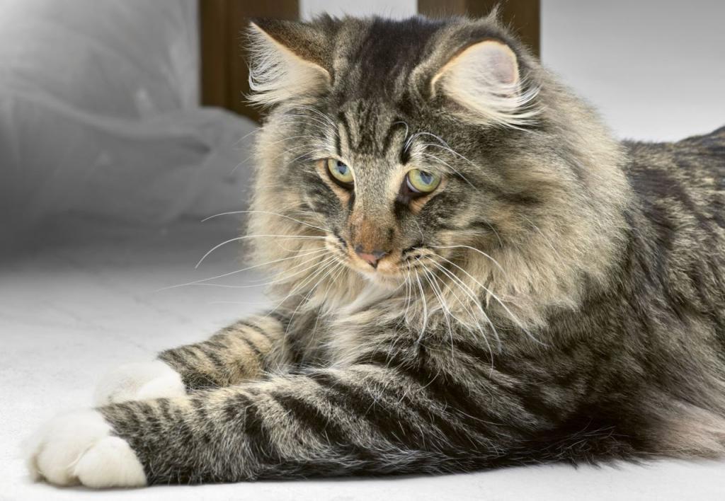 Норвежская лесная кошка - описание, характер, фото, цена   сайт «мурло»