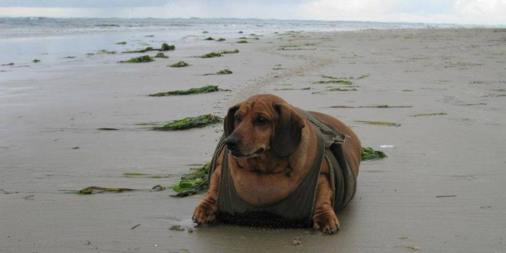Обзор самых толстых собак в мире: какие породы могут быть жирными