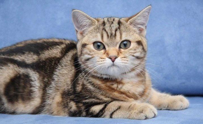Окрасы бенгальской кошки, цвета и узоры - wlcat.ru