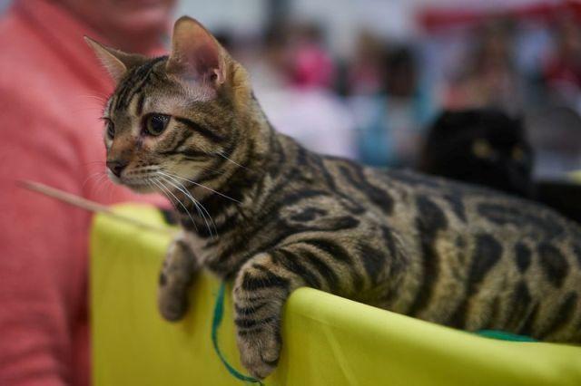 Гипоаллергенные породы кошек: список, фото и описание пород
