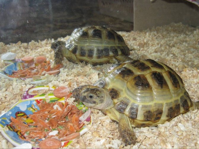 Как поить сухопутную черепаху