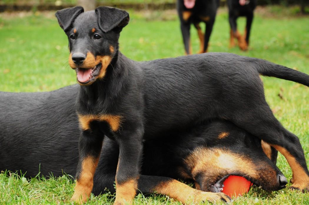 Босерон (44 фото): описание французских овчарок, происхождение породы собак, характер щенков, окрасы «арлекин» и черный