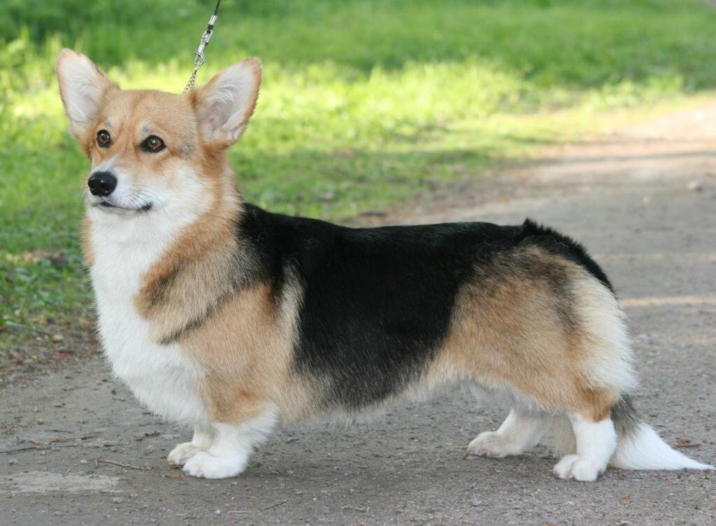 Порода собаки на коротких лапах и с большими