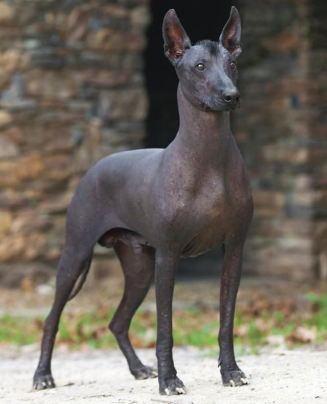 Ксолоитцкуинтли собака. описание, особенности, виды, уход и цена породы | живность.ру