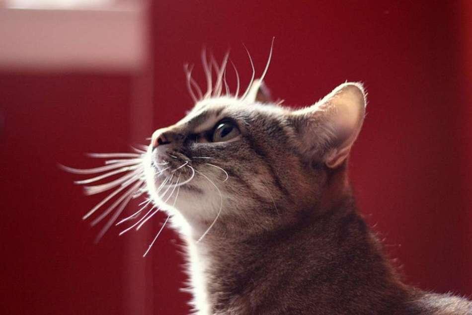 Сколько у кошек рядов усов и почему они выпадают, что делать: причины выпадения вибрисс у котов