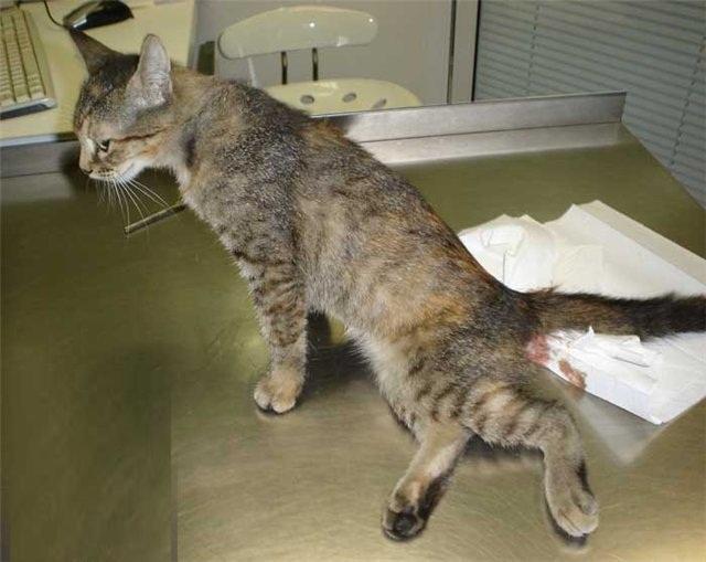 У кошки сломан хвост - что делать с переломами