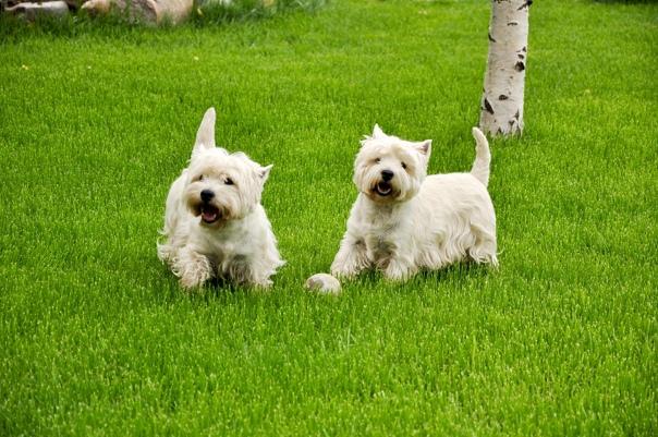 Вест-хайленд-уайт-терьер: все о породе собак