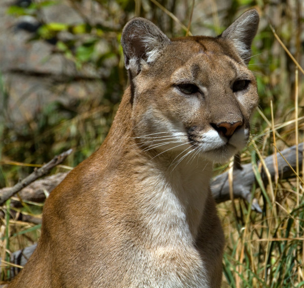Кошка гавана — характеристика кошки, допустимый окрас шерсти. сколько живет и чем питается, плюсы и минусы породы (фото + отзывы)