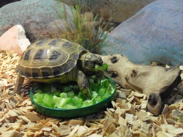 Что ест сухопутная черепаха в неволе?