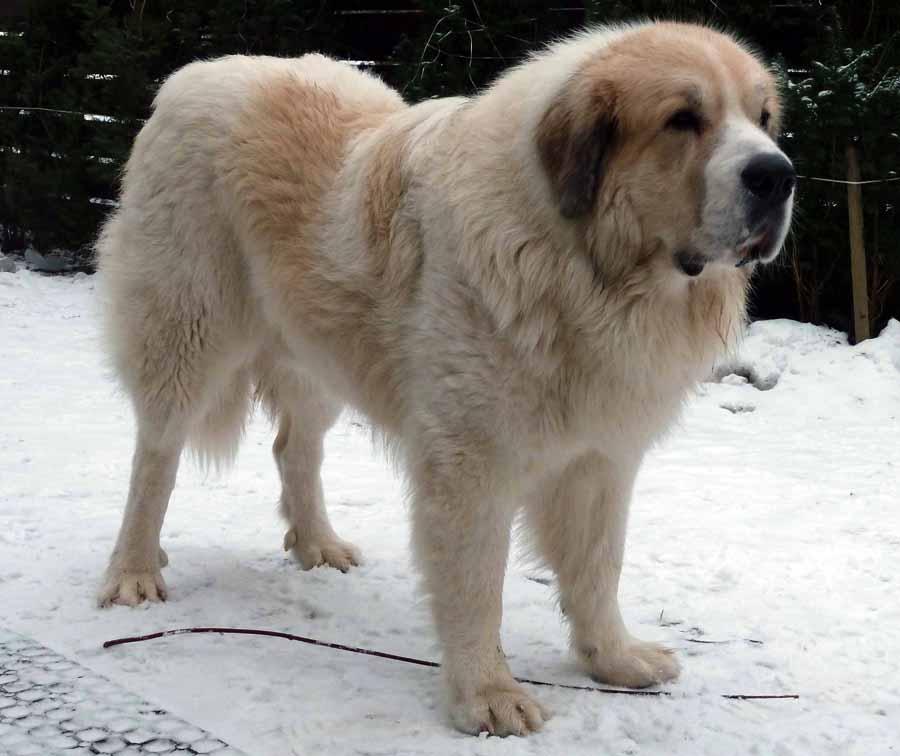 Пиренейский мастиф: описание породы собак с фото и видео