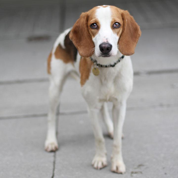 Английский и американский фоксхаунд – описание породы и характер собак