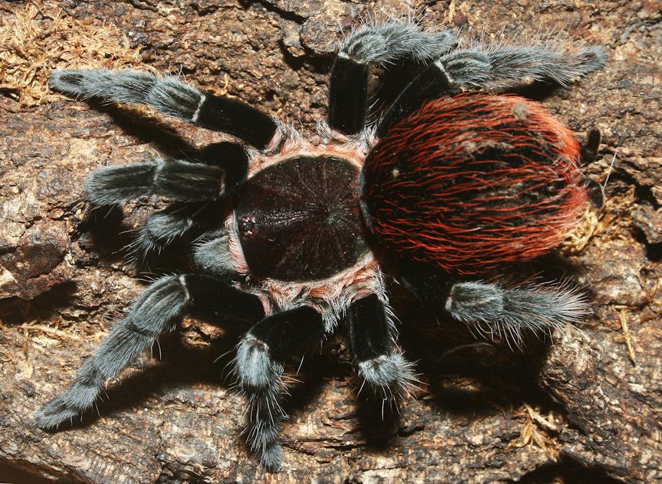 Пауки рода brachypelma, описание пауков птицеедов из рода brachypelma
