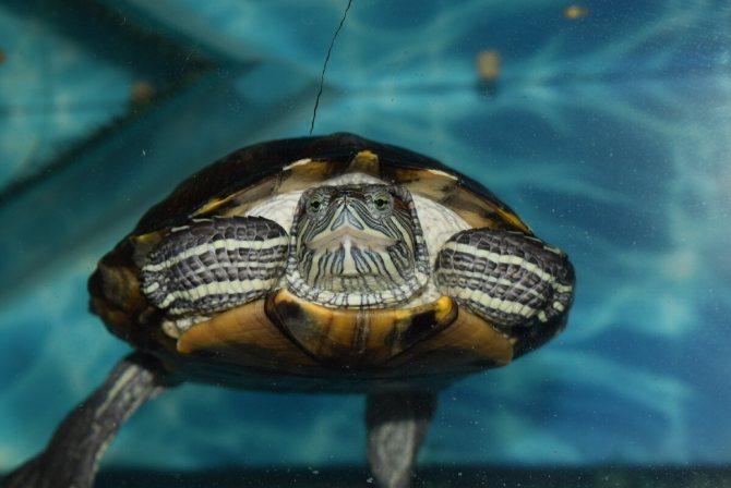 Спячка черепахи или зимовка черепахи