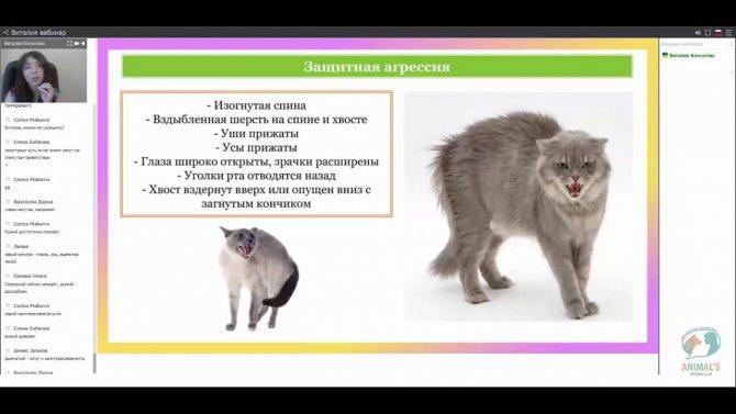 Агрессия у кота — что делать