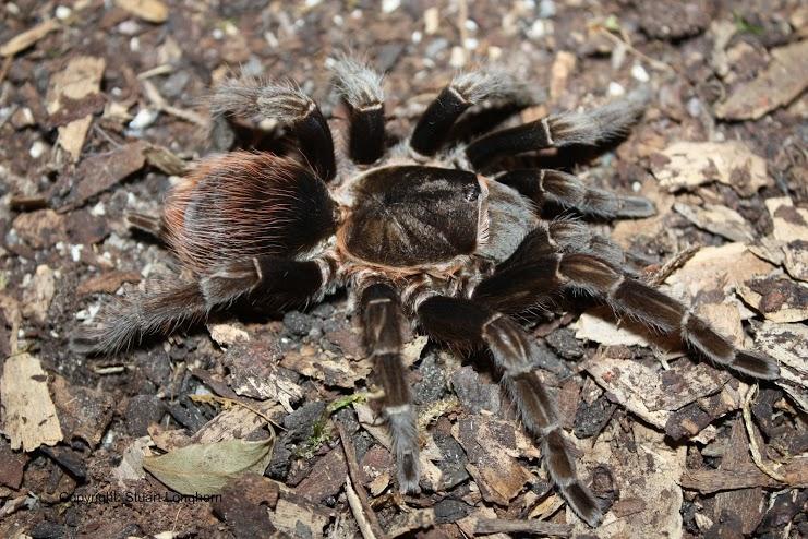 Террариумистика / пауки → содержание brachypelma boehmei + личный опыт