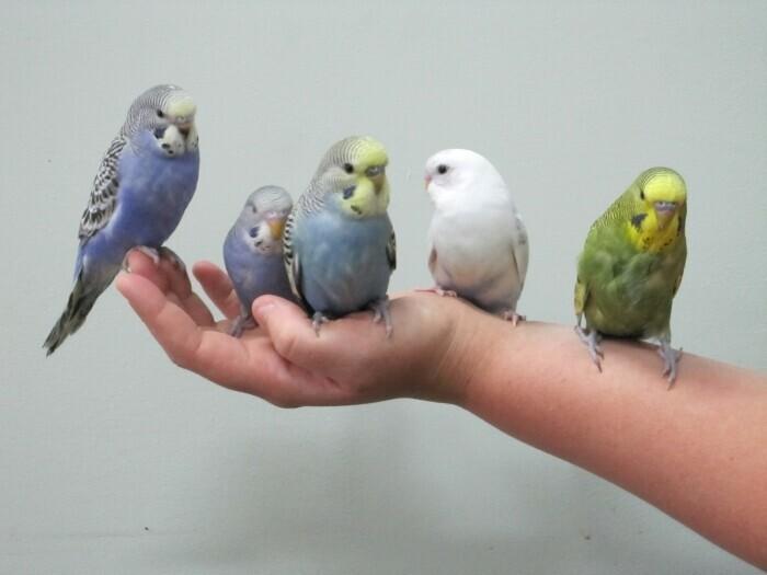 Как приручить попугая к рукам: дрессировка, с чего начать