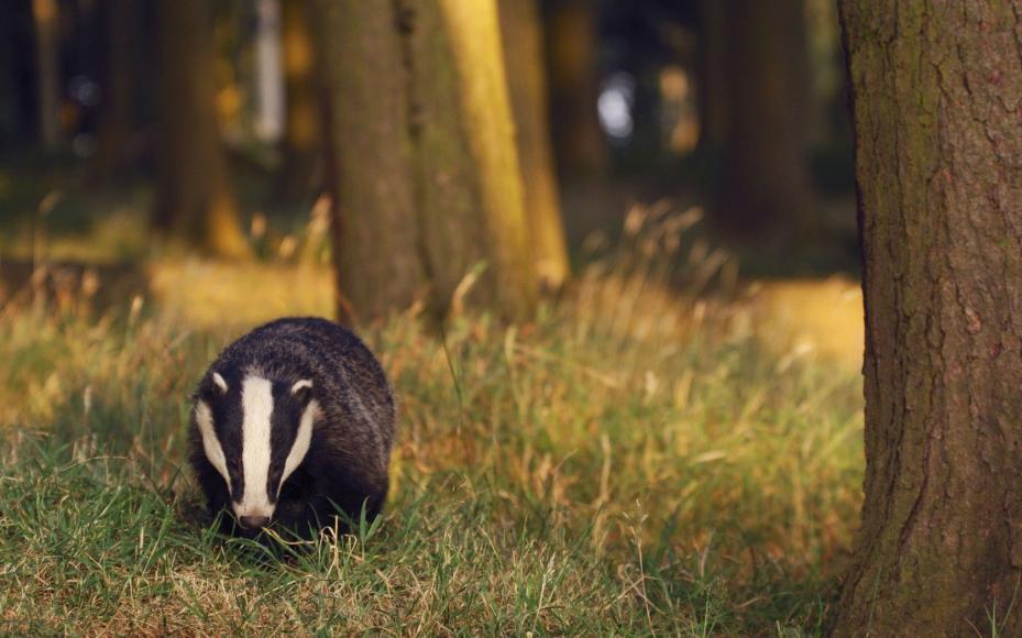 Барсук: фото дикого животного, интересные факты, образ жизни, виды, ареал обитания