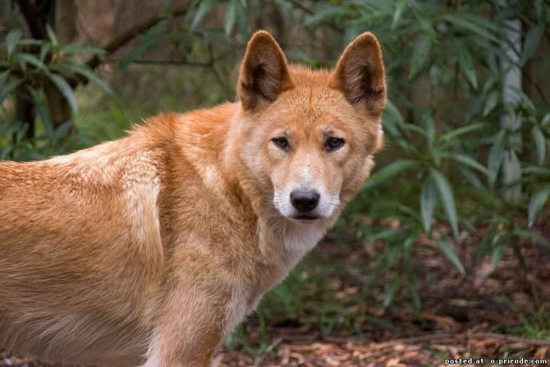Австралийская собака динго: интересные факты