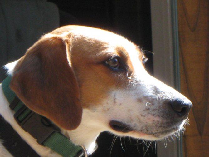 Собака бигль – описание, как выглядит, характер, окрасы, плюсы и минусы породы