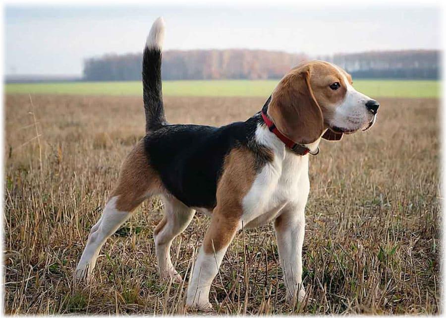 Собака бигль – правила ухода и содержания, что нужно для питомца, здоровье, подходящие клички