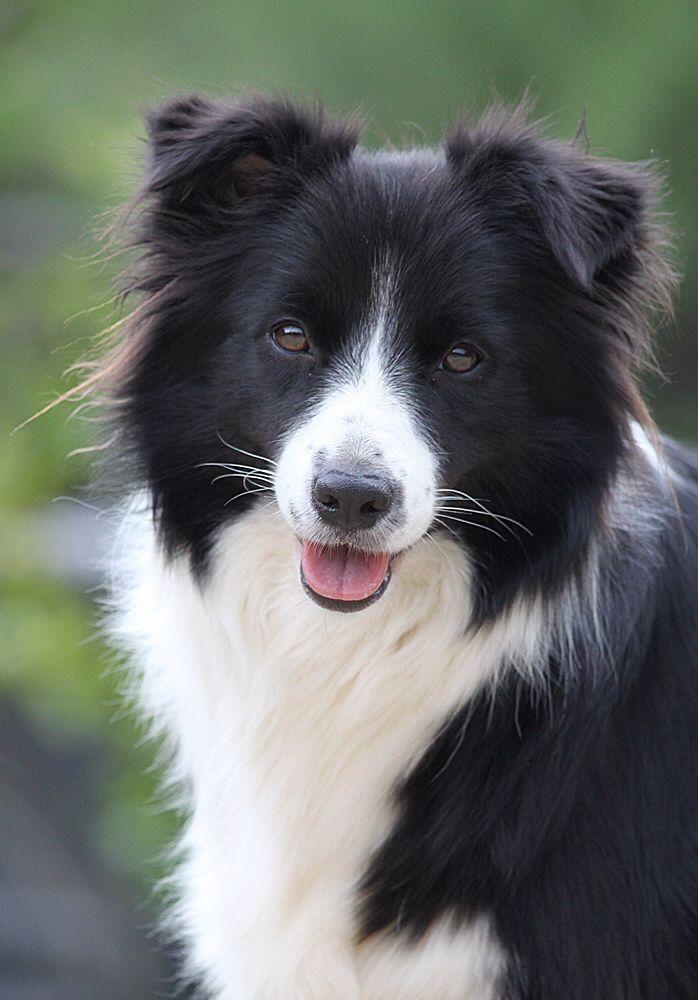 Бордер колли собака. описание, особенности, уход и цена бордер колли | sobakagav.ru