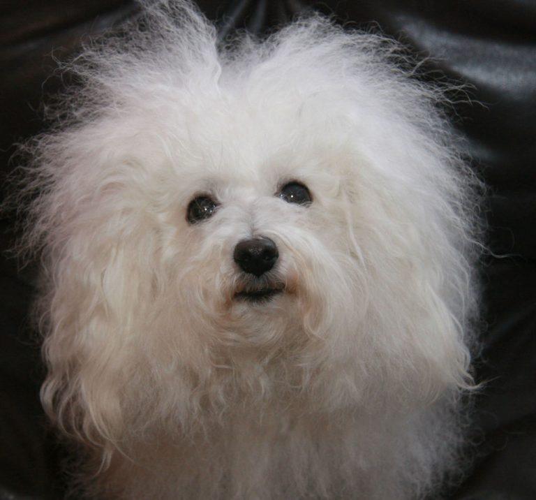 Болоньез (итальянская болонка): описание породы, фото собак