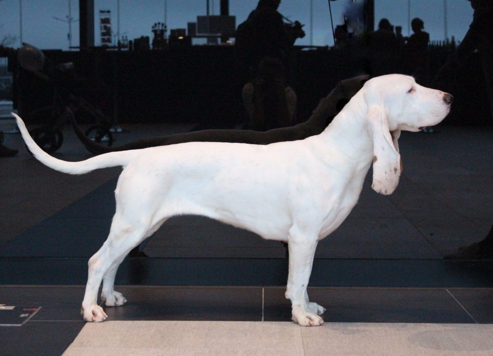 Испанская водяная собака - все о породе