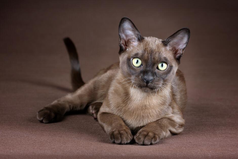 Бурманская кошка : содержание дома, фото, купить, видео, цена