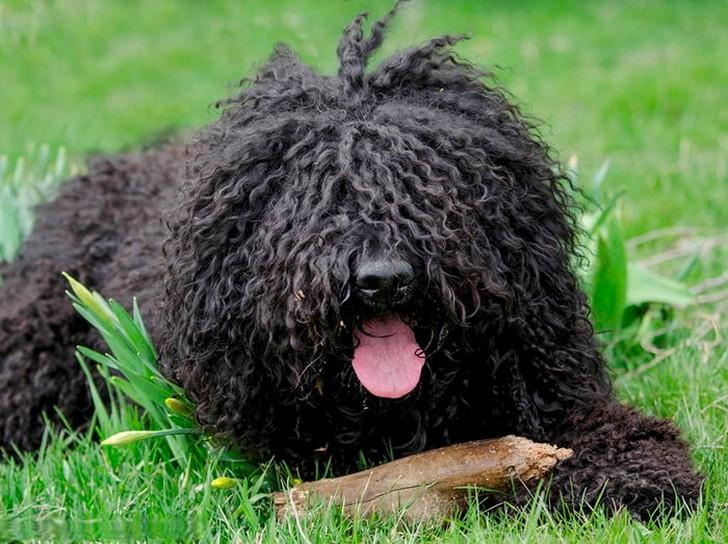 Барбет: описание породы, особенности ухода и содержания французской водяной собаки, полезные советы и фото