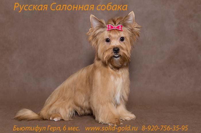 ᐉ русская салонная собака описание породы - zoomanji.ru