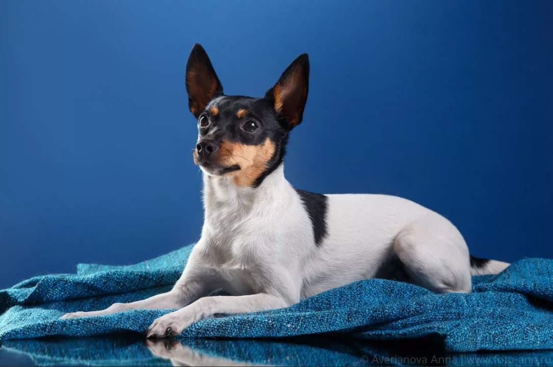 Фокстерьер — обзор породы, особенности характера и советы по уходу за вечно активным псом (130 фото + видео)