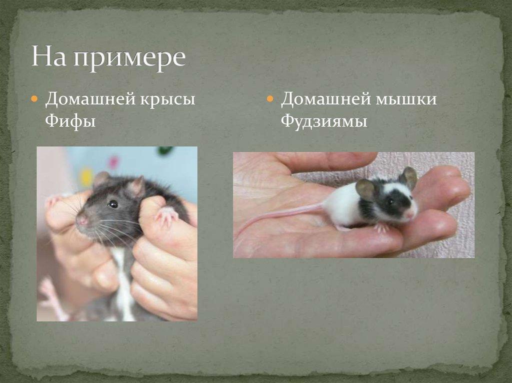 Милее крысы зверя нет: плюсы и минусы разведения грызунов в домашних условиях