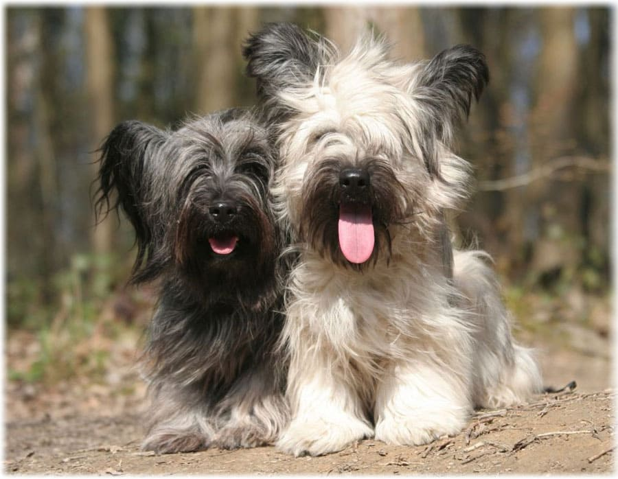 Скайтерьер: характеристики породы собаки, фото, характер, правила ухода и содержания