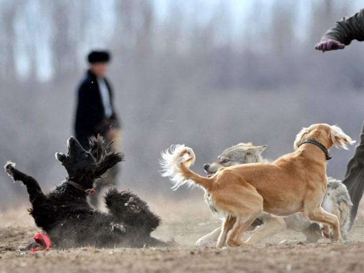 Киргизский тайган: описание и предназначение