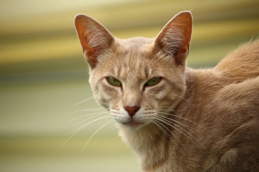 ᐉ яванез или яванская кошка - описание пород котов - ➡ motildazoo.ru