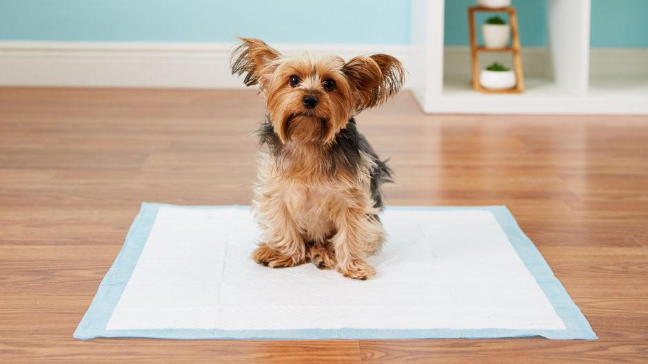 Как щенка и взрослую собаку приучить к туалету на улице, отучить ходить в туалет дома? как приучить щенка маленьких пород к туалету в квартире на пеленку? когда щенок начинает терпеть и проситься в туалет?